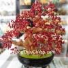 Cây tài lộc đá san hô đỏ K165