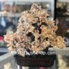Cây thạch anh vàng lớn dáng đại thụ trên chậu có núi đá KC104