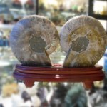 Vo oc hoa thach 03 150x150 Ốc hóa thạch trên đế gỗ K086